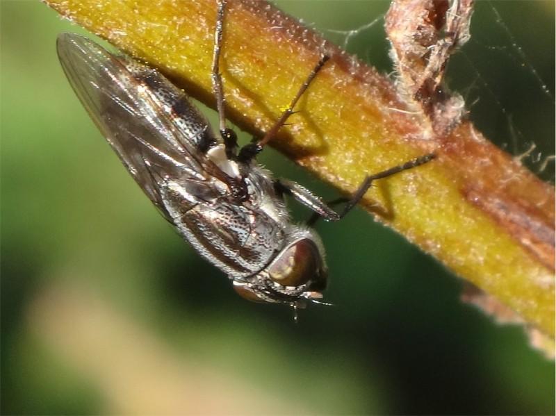 Stomorhina lunata