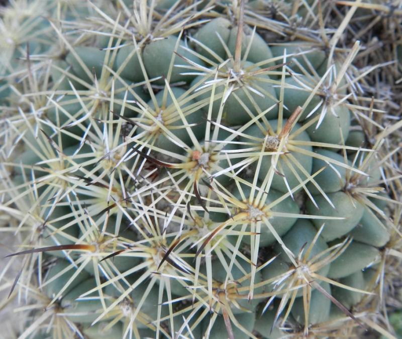 Coryphantha cornifera? Pachuca, Hidalgo, Mexico 3676324