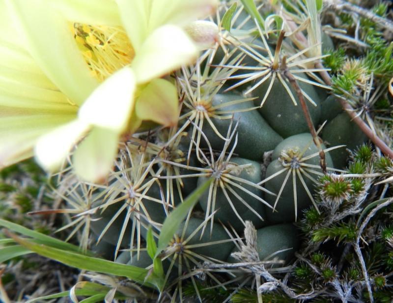 Coryphantha cornifera? Pachuca, Hidalgo, Mexico 3676256