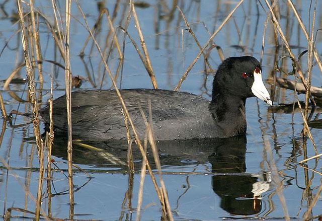 Coot synonym