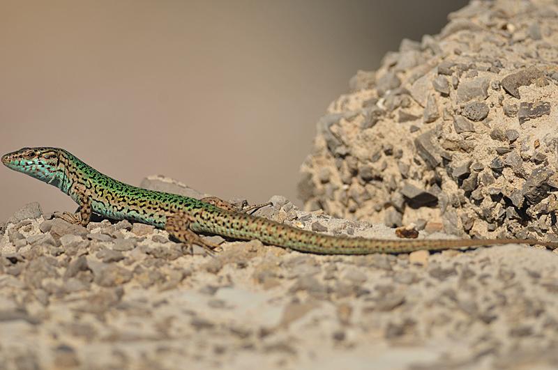 Ibiza Wall Lizard - Podarcis pityusensis - Observation.org