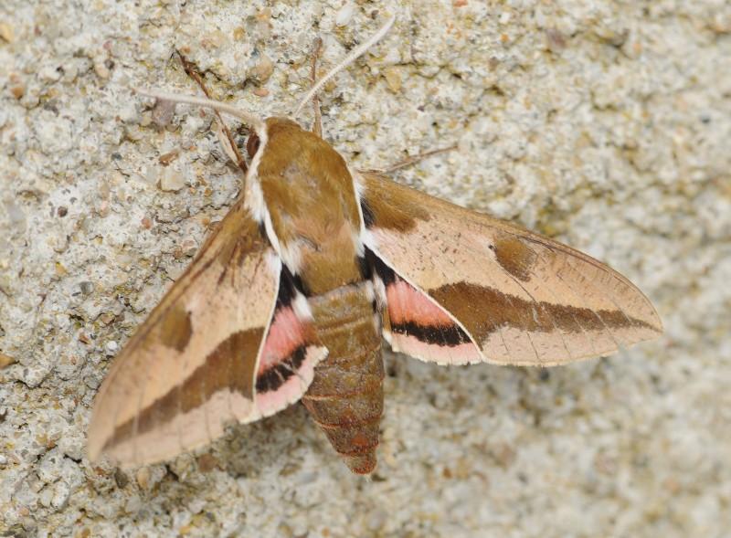 5 Pack Sphingidae Blank Notecards HawkmothSphinxMoth